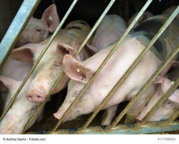 719.400 Schweine am 3. Mai 2019