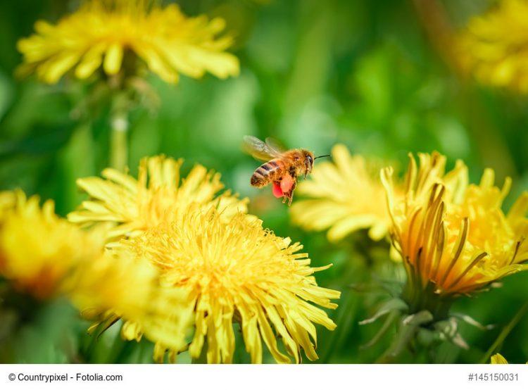 Biene im Anflug auf eine Löwenzahnblüte