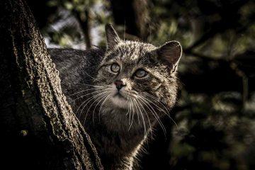 """""""Abendrendezvouz mit der Wildkatze""""   Bildquelle: © Christian Lohmann / Wildtierland Hainich gGmbH"""