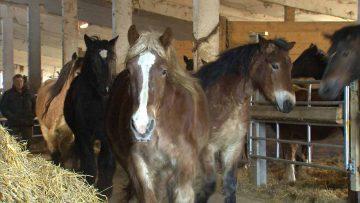 Kaltblutpferde im Stall des Pferdehofes Großenlupnitz | Bildquelle: © Rechte MDR/ Ute Gebhardt