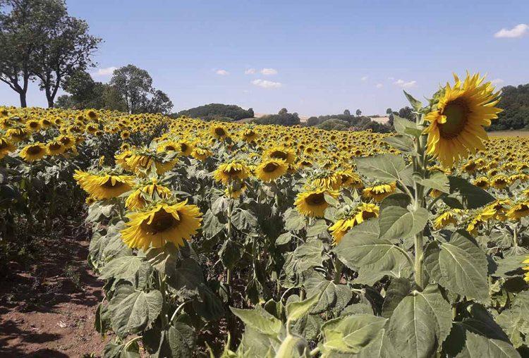 Das Sonnenblumenfeld der Wartburgland-Agrargenossenschaft bei Eckartshausen   Bildquelle: © Florian Krey / Wartburgland-Agrargenossenschaft Marksuhl e.G.