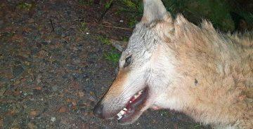 Wolf in Ostthüringen auf A 9 überfahren