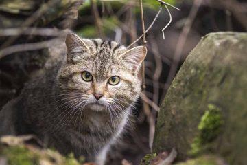 Zufriedene Jahresbilanz 2018 im BUND-Wildkatzendorf Hütscheroda