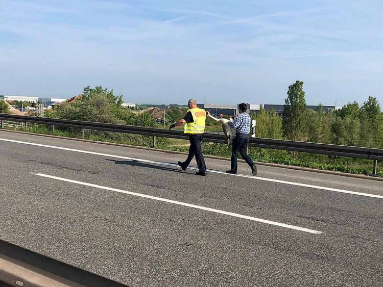 Ein Polizist und ein Autofahrer tragen einen Schwan gemeinsam über die Fahrbahn | Bildquelle: © Thüringer Polizei Autobahnpolizeiinspektion