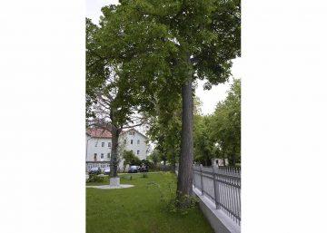 Baumfällung auf dem Gelände der Kurverwaltung notwendig
