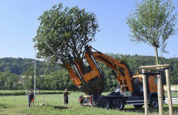 Vier große Bäume werden mit professioneller Hilfe verpflanzt